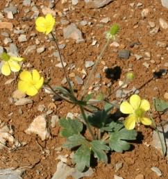 העלים התחתונים דמויי לב בבסיסם; העלה בן 3 אונות משוננות עם 30-15 שיניים.