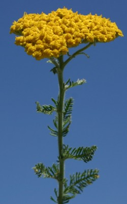 Achillea arabica Kotschy