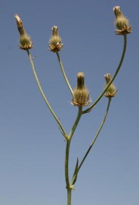 ניסנית סורית Crepis syriaca (Bornm.) Babc.& Navashin