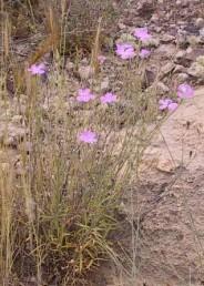 צמחים רב-שנתיים בעלי בסיס מעוצה. בעת הפריחה חלק מהענפים אינם נושאים פרחים.