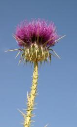 קוצי הגבעול אינם יוצרים כנפיים. צמחי נגב.