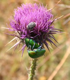 צבע הכותרת סגול בהיר עד ורוד כהה. צמחים הגדלים בעיקר על קרקעות חוליות ברום 300-10 (-800) מ'.