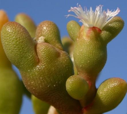 אהל מגושם Opophytum forsskalii (Hochst. ex Boiss.) N.E.Br.