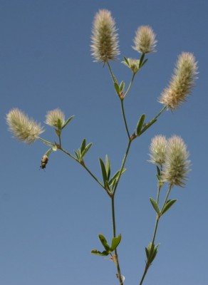 תלתן השדה Trifolium arvense L.