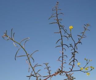 העלים דמויי סרגל ולעתים דמויי ביצה הפוכה, שפת העלה כפופה לאחור; בלוטות שמן אתרי בולטות תמיד על פני העלה.