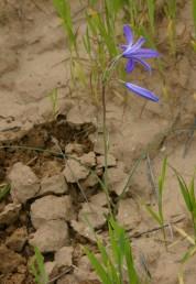צמח בעל בצל רב-שנתי. הגבעול נושא עלים, התפרחת אשכול או מכבד.