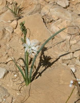 נץ-חלב צרפתי Ornithogalum narbonense L.