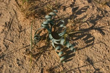 צמחים של חולות מדבר, העלים שזורים ובעלי מופע של בורג סליל או קפיץ, מופיעים באביב אחרי גמר הפריחה.