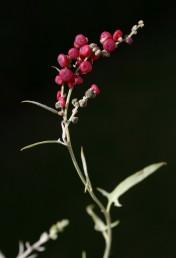 מטפס רב-שנתי או חד-שנתי, בעל פירות עסיסיים אדומים ועלים דמויי רומח בבסיסם.