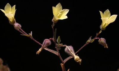 הכותרת צהובה כצבע הגפרית. צמחי קרקעות חוליות.