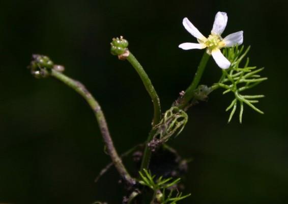 נורית נימית Ranunculus trichophyllus Chaix