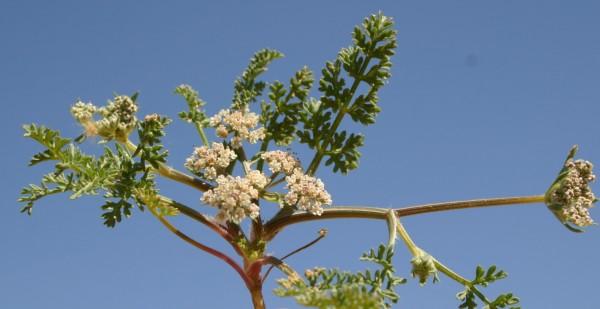 גזרנית החוף Pseudorlaya pumila (L.) Grande