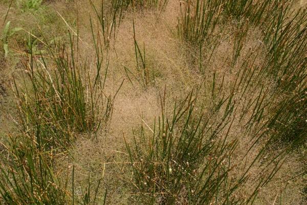 אנטינוריית האיים Antinoria insularis Parl.