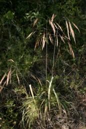 צמחים רב-שנתיים, בבסיסם שרידים של נדני העלים של השנה שעברה. צמחי צל של חורשים בחבל הים-תיכוני.