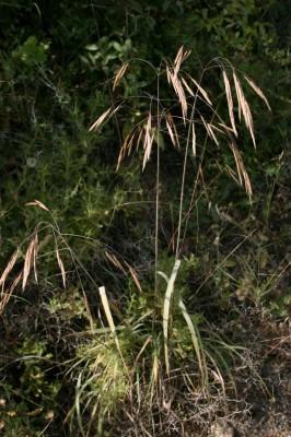 Bromus syriacus Boiss. & Blanche