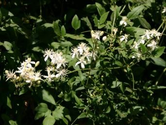 הפרחים ערוכים במכבד, קוטרם 2.5-2 ס