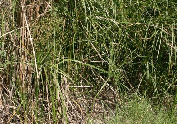 Cyperus longus L.