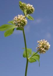 העלים מורכבים-מנוצים בעלי 7-5 עלעלים, זוג התחתונים מרוחק מהשאר ודומה לעלי-לוואי.