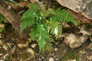 עשבים רב-שנתיים מצויים בצל עצי-חורש בצפון הארץ, הם מנוצים 3-1 פעמים ולהם פטוטרת ארוכה.