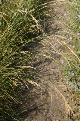 בן-אפר מצוי Schedonorus arundinaceus (Schreb.) Dumort.