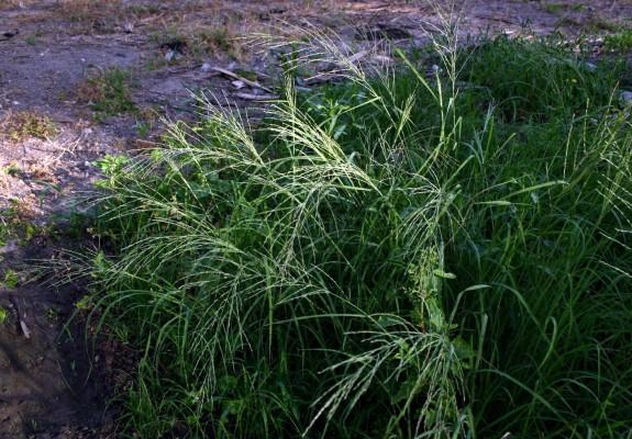 דו-מוץ חדוד Leptochloa mucronata (Michx.) Kunth