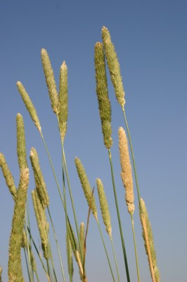 חפורית הפקעים Phalaris aquatica L.