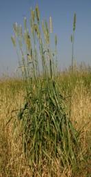 עשבים רב-שנתיים, גובהם 150-40 ס
