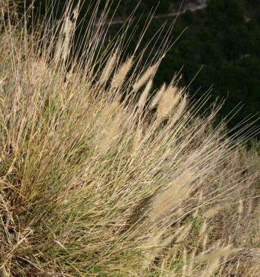 זיף-נוצה מחוספס Pennisetum orientale L.Rich.