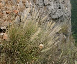 עשב רב-שנתי הגדל בצוקים הפונים דרומה, בשולי דרכים מרוססים בקוטלי עשבים ובערוצים במדבר.