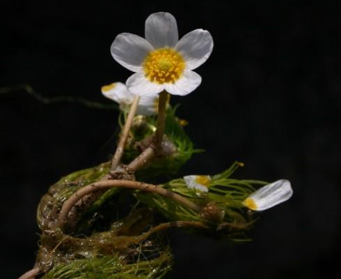 נורית המים Ranunculus peltatus Schrank