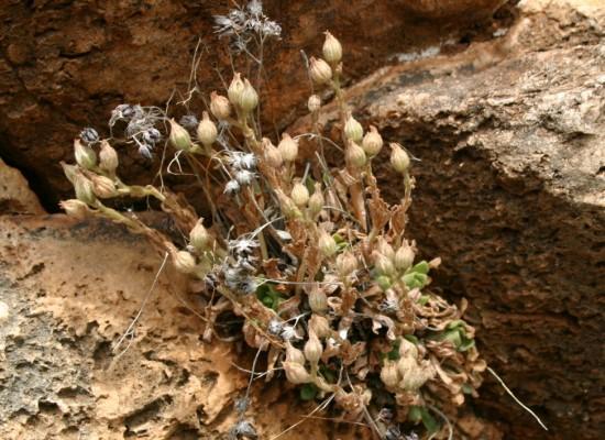 שושנתית מסורטטת Rosularia lineata (Boiss.) A.Berger