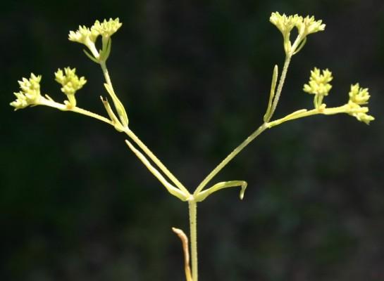 ולריינית קטועה Valerianella muricata (Steven) Baxter