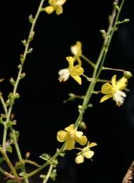 זירי האבקנים מכוסים שערות לבנות. עוקצי הפרחים קירחים. עשבים רב-שנתיים של בתי-גידול לחים.