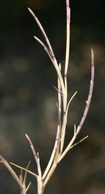 דק-זנב נימי Parapholis filiformis (Roth) C.E.Hubb.