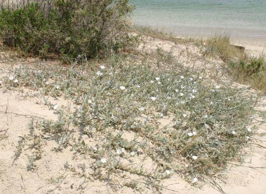 חבלבל החוף Convolvulus secundus Desr.