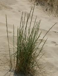 צמחים רב-שנתיים, גדלים בקרקעות חוליות על כורכר בחגורת הרסס של הים-התיכון.