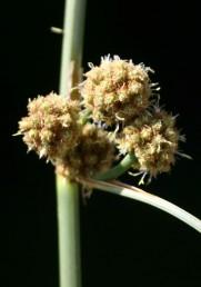 השיבוליות צבורות לקרקפות כדוריות צפופות.