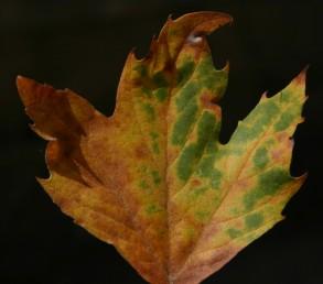 העלים שסועים כעין כף-יד.