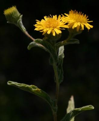 פרעושית ערבית Pulicaria arabica (L.) Cass.