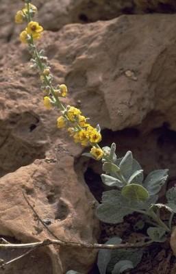 בוצין דמשקאי Verbascum damascenum Boiss.