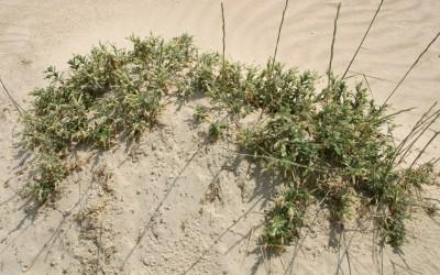 בני-שיח בשרניים של מישור החוף, הגדלים בעיקר בחולות ובקרבת הים.