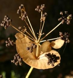 העלים העליונים בלתי מחולקים, חרוזים על הגבעול ויוצרים במפרקים מעין גביעים ששפתם תמימה.