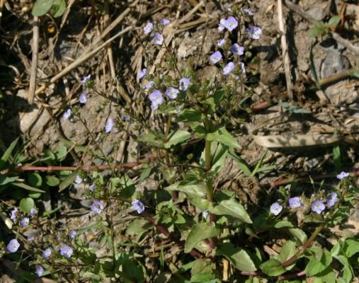 ורוניקת המים Veronica anagallis-aquatica L.