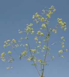 קבוצות הפרחים צפופות למדי, נישאות על עוקצים ארוכים, נימיים היוצרים זווית רחבה זה עם זה.