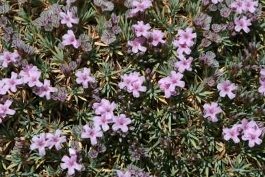 צבע העלים ירוק-מכחיל, רוחבם 2-1.5 מ