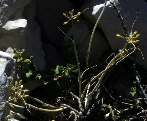 שום הפסגות Allium pseudostamineum Kollmann & Shmida