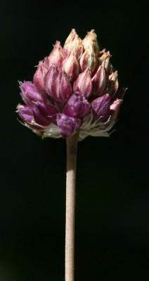 שום עגול Allium rotundum L.
