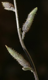 הפרי מפרקת, משונץ באמצעיתו ומכוסה בבלוטות דביקות.