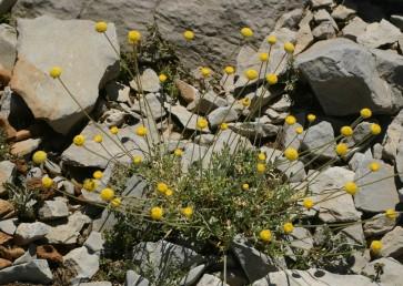 עשב רב-שנתי של הרים גבוהים (החרמון). כל פרחי הקרקפת צינוריים, צבעם צהוב.