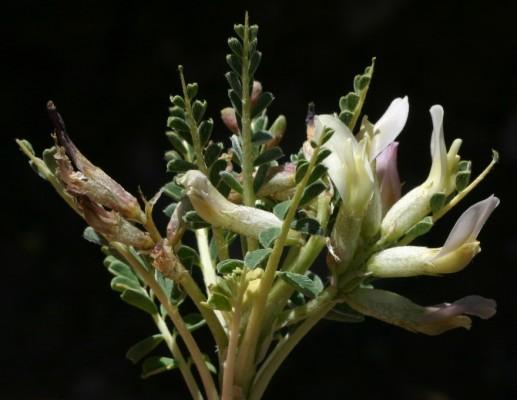 קדד חרמוני Astragalus angustifolius Lam.